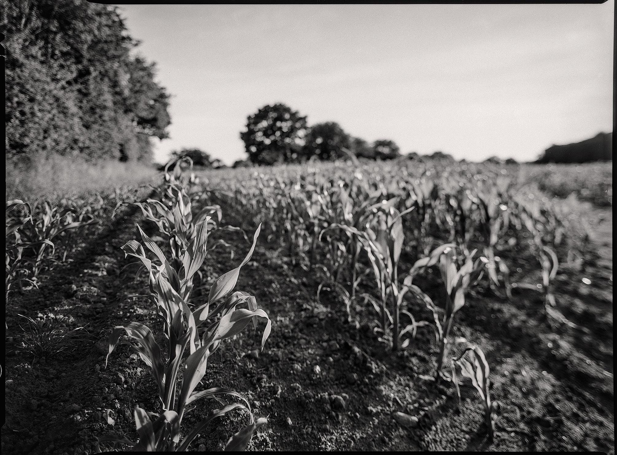 Mehrere Maispflanzen