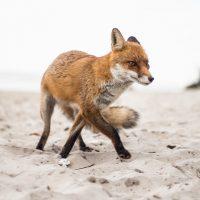 Schnürender Fuchs am Strand