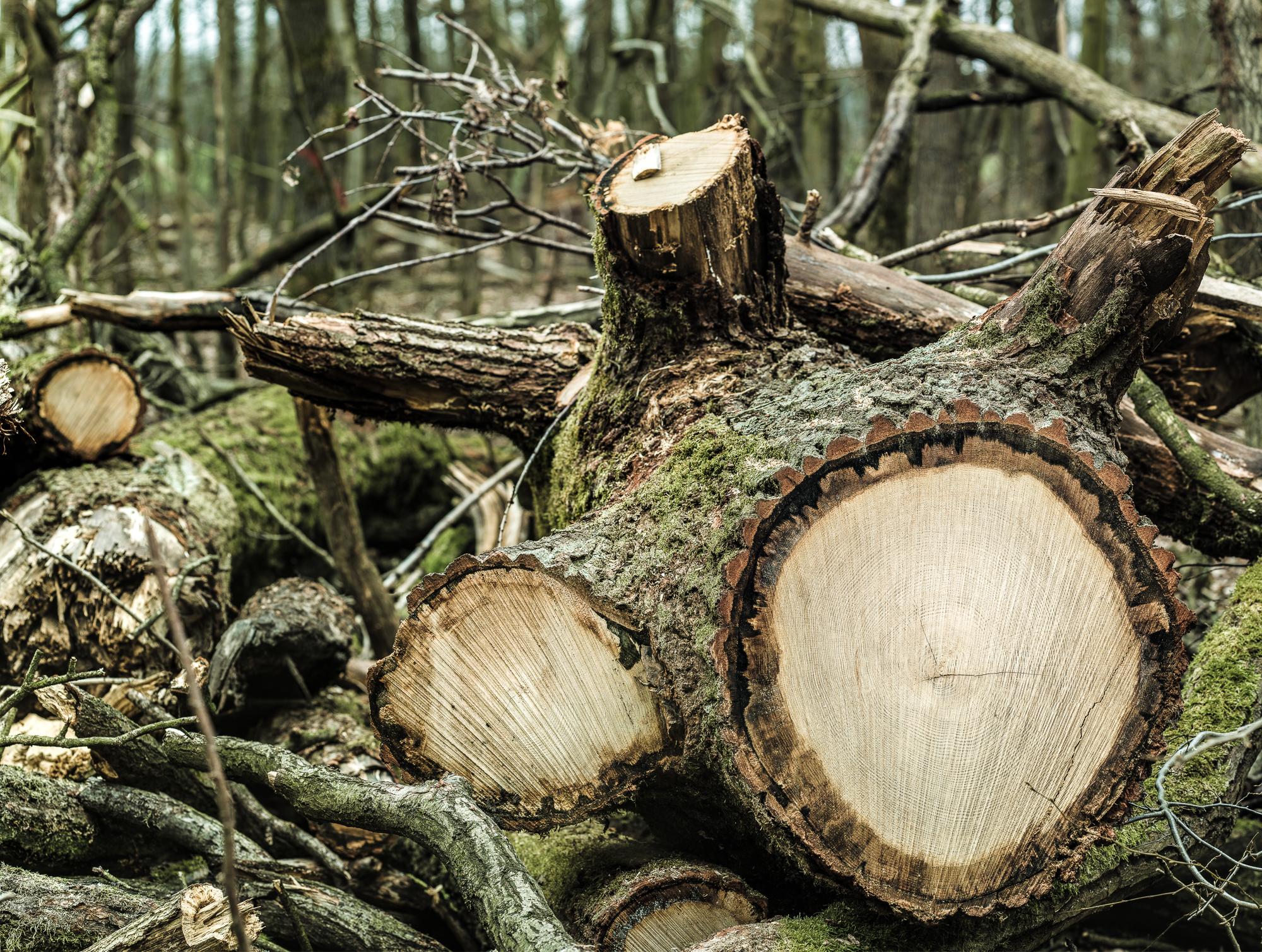 Zersägter Baum im Beimoorwald