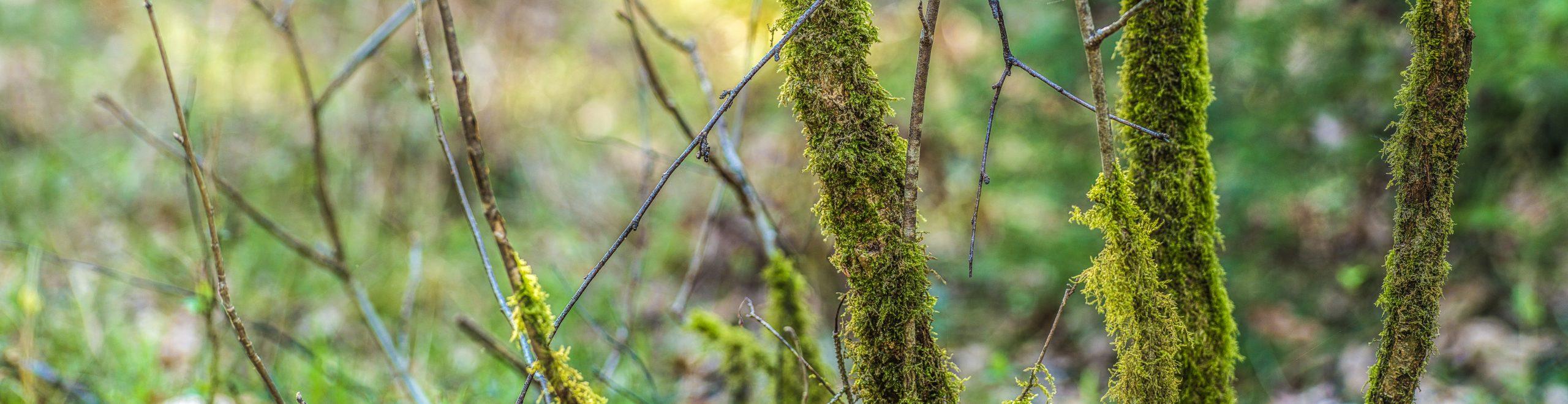 moosüberwachsene Äste in einem Feuchtgebiet
