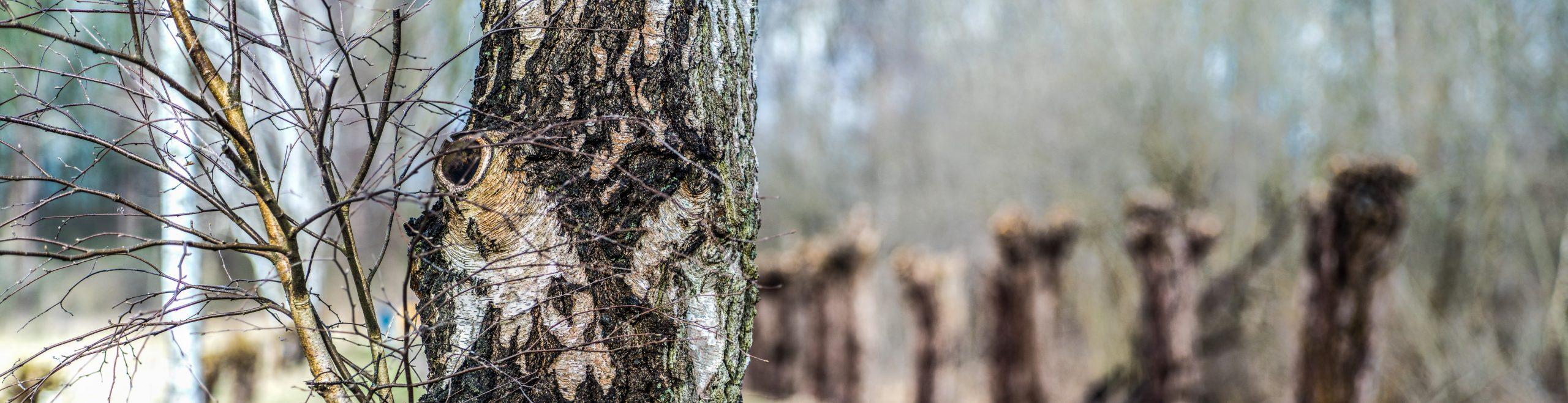 Birke vor geschnittenen Weiden, ein extremes Querformat wie alle Bilder in diesem Artikel