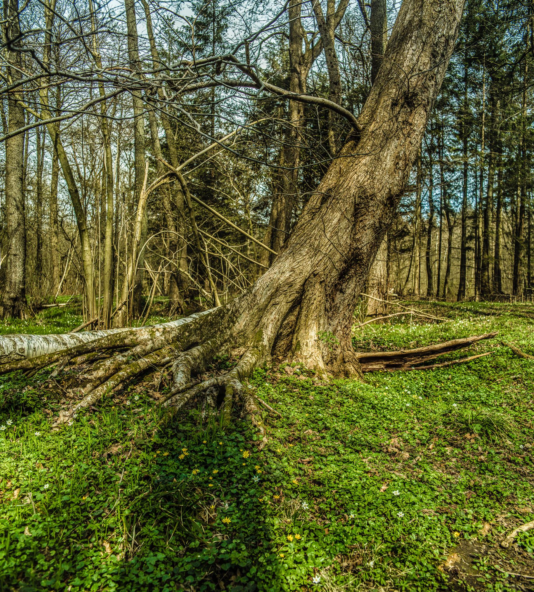schräg stehender Baum mit freiliegenden Wurzeln