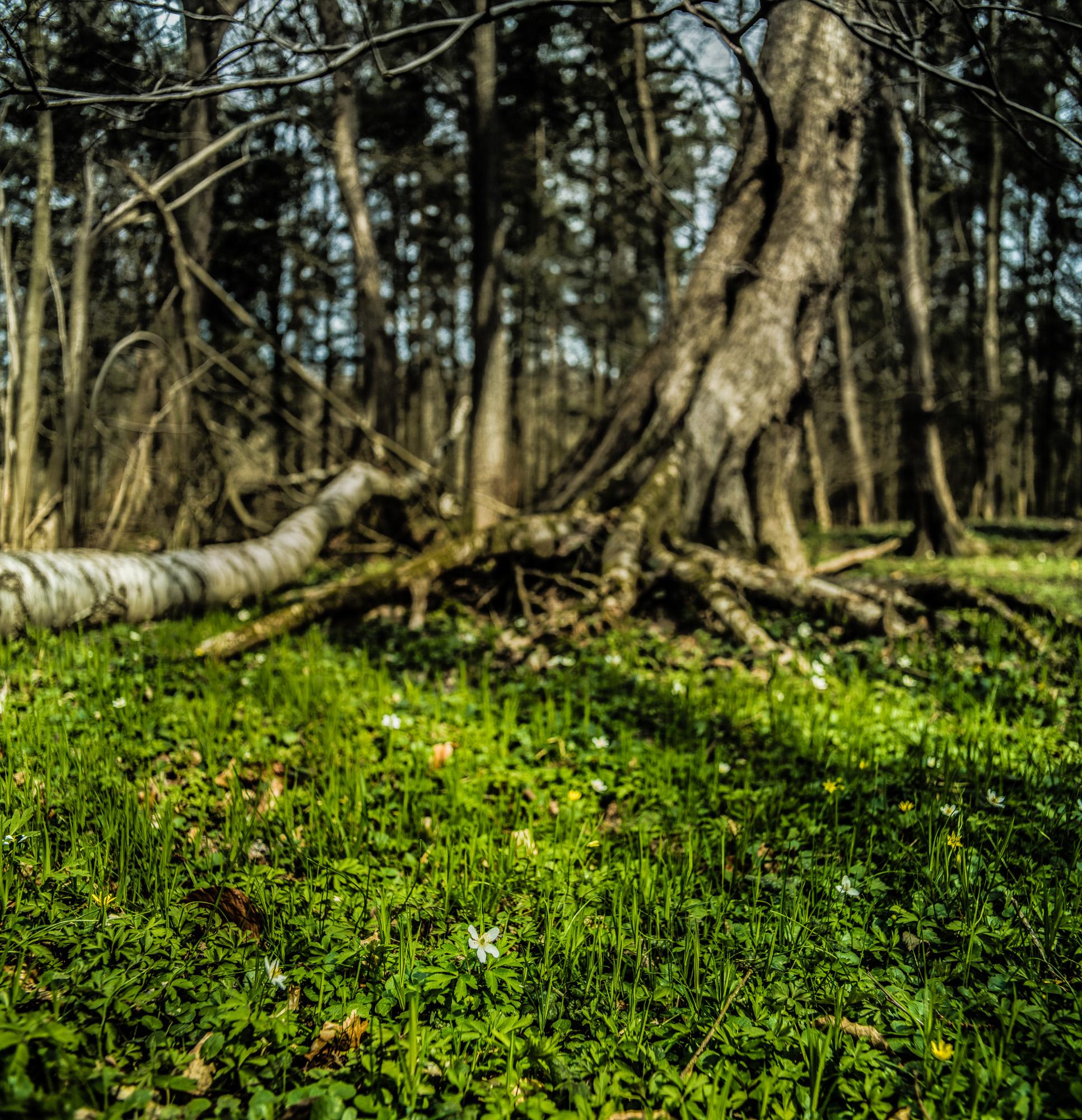 Waldlichtung mit Buschwindröschen vor markant freiliegender Wurzel, quadratisch