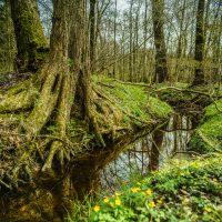 Bachlauf im Wald, markante Wurzel, Dotterblumen