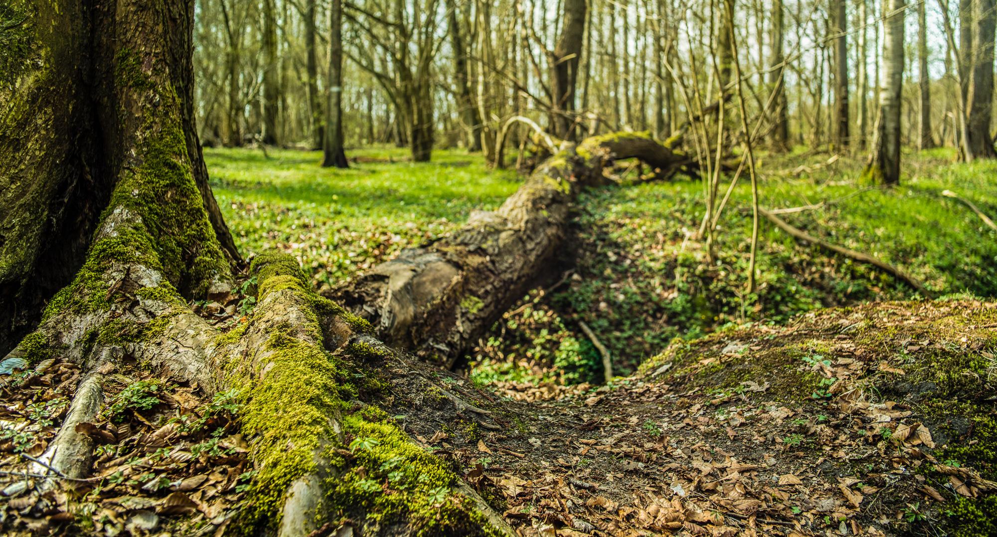 Panoramaformat eines umgefallenen Baums, Wurzeln im Vordergrund