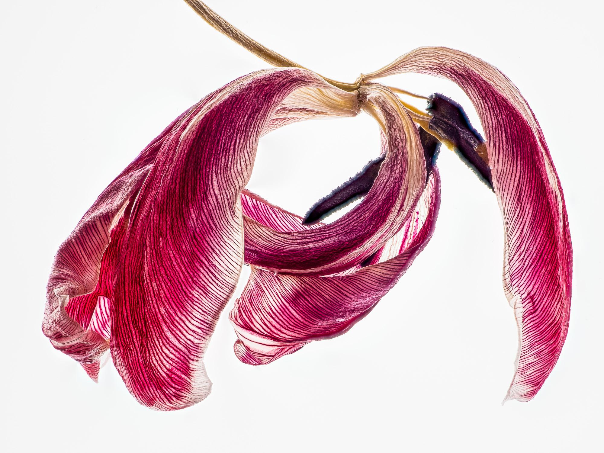 verwelkte Tulpe auf dem Leuchttisch