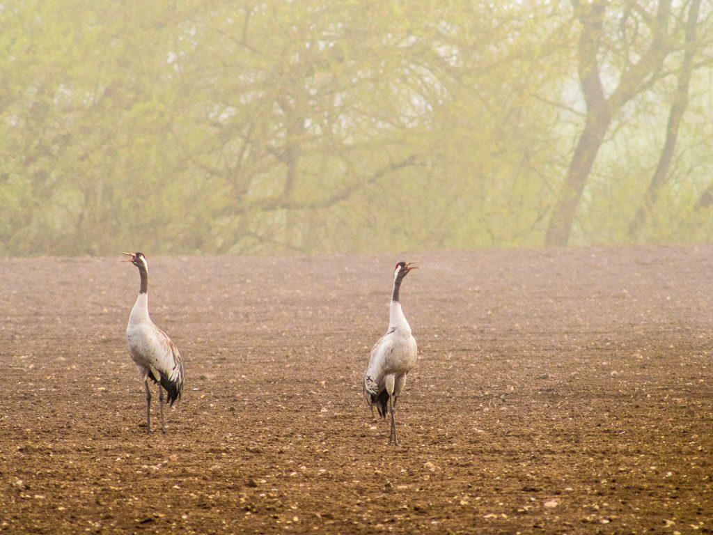 zwei Kraniche auf einem gepflügten Feld im Morgennebel
