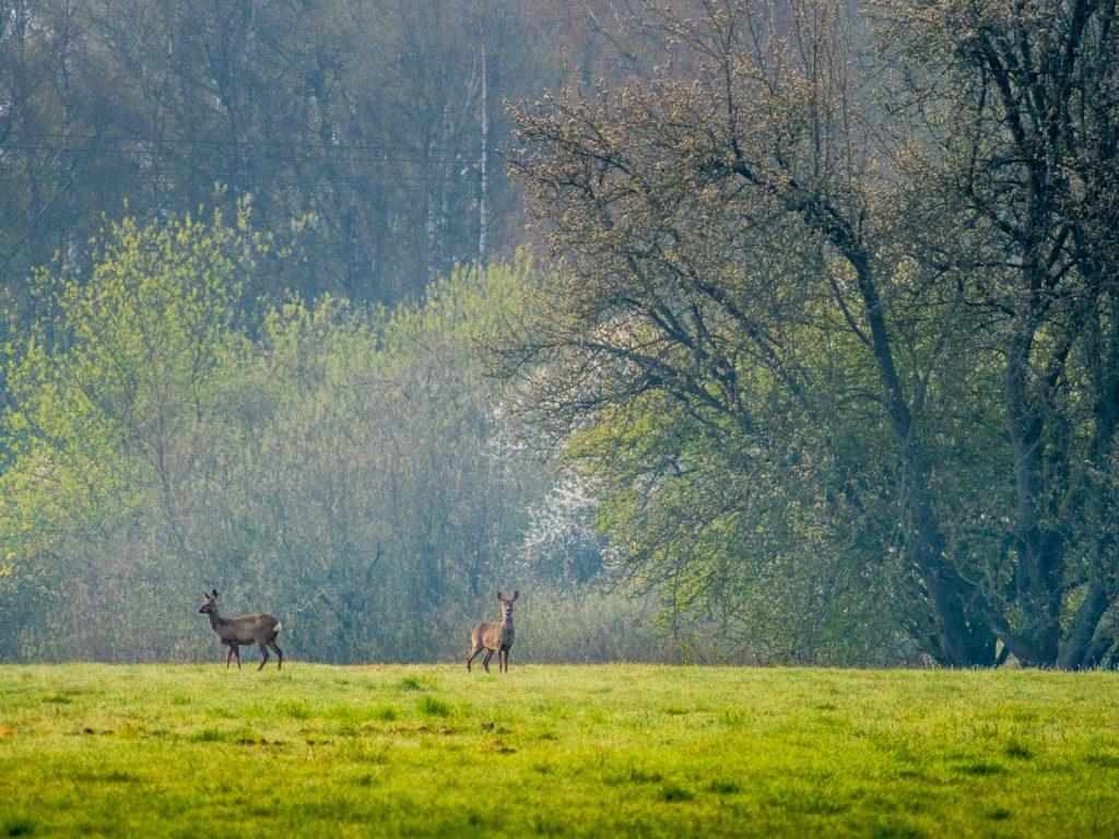 zwei Rehe im weichen Morgenlicht