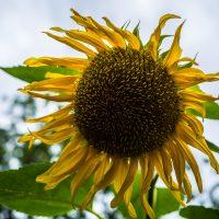 Sonnenblume gegen Wolkenhimmel
