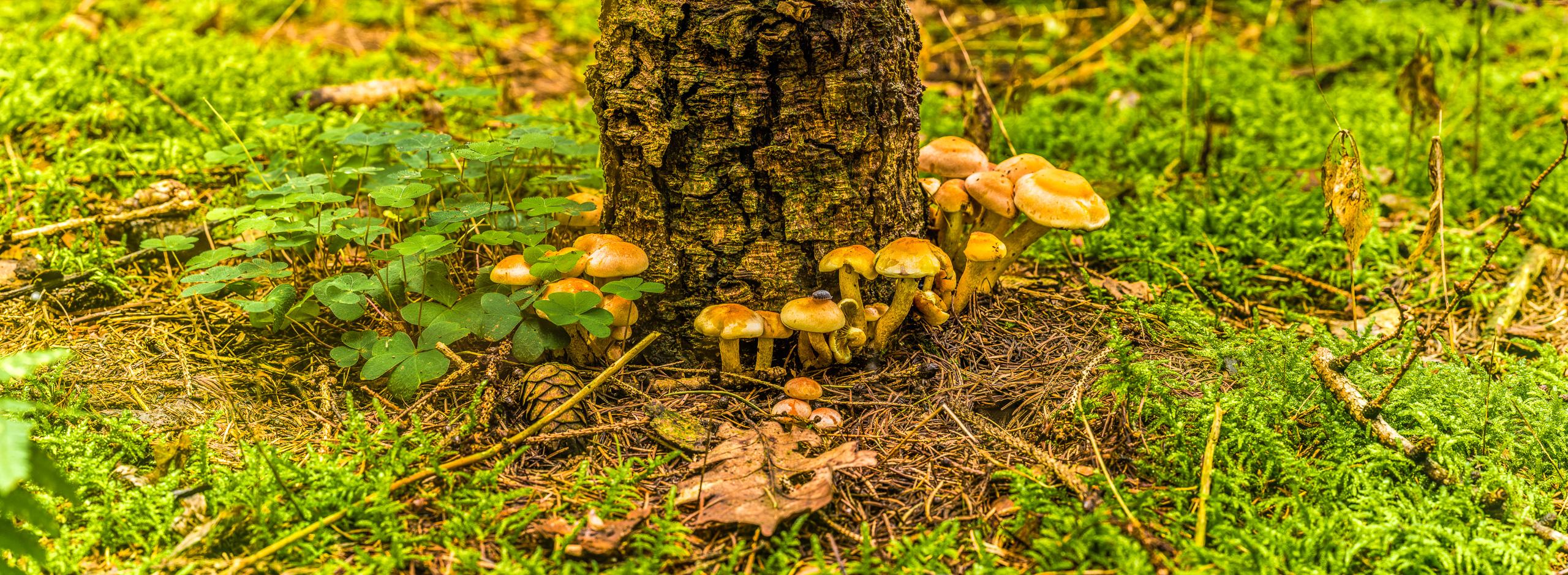 Pilze rund um einen Baumstamm gruppiert, Panoramaformat