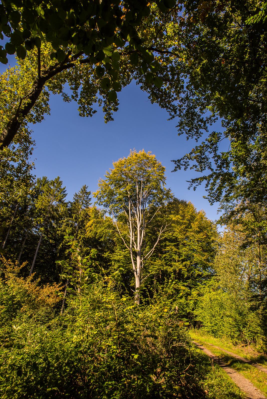 prägnanter einzelner Baum am Waldrand vor blauem Himmel